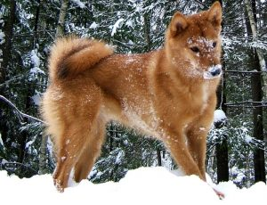 Karelo Finnish Laika Dog Breed Information All You Need To Know