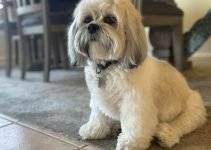 Kyi-Leo Dog Breed Information – All You Need To Know