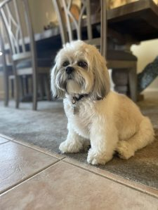 Kyi Leo Dog Breed Information All You Need To Know