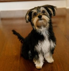Morkie Dog Breed Information All You Need To Know