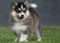 Pomsky Dog Breed Information – All You Need To Know