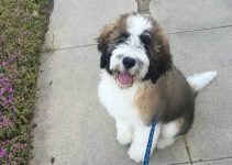 Saint Berdoodle Dog Breed Information – All You Need To Know