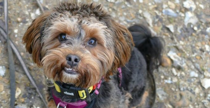 Yorkipoo Dog Breed Information All You Need To Know