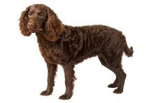 10 Dog Breeds Most Compatible with American Water Spaniels