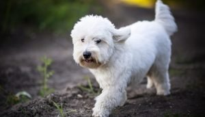 10 Dog Breeds Most Compatible With Coton De Tulear