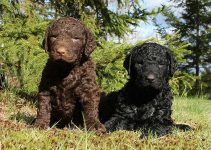 10 Dog Breeds Most Compatible with Curly Coated Retrievers