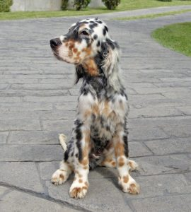 10 Dog Breeds Most Compatible With English Setters