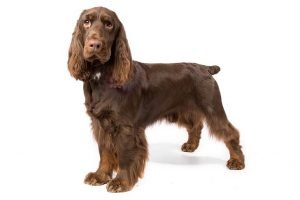 10 Dog Breeds Most Compatible With Field Spaniels
