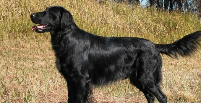 10 Dog Breeds Most Compatible With Flat Coated Retrievers