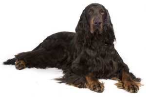 10 Dog Breeds Most Compatible With Gordon Setters