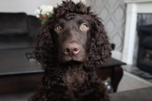 10 Dog Breeds Most Compatible With Irish Water Spaniels