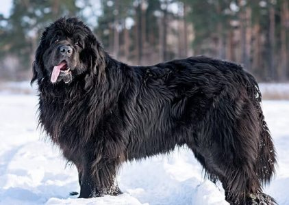 10 Dog Breeds Most Compatible With Newfoundlands