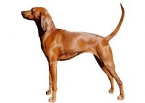 10 Dog Breeds Most Compatible with Redbone Coonhounds