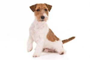 10 Dog Breeds Most Compatible With Russell Terrier