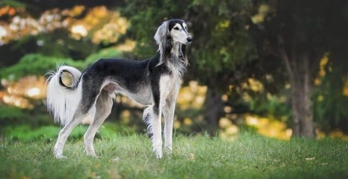 10 Dog Breeds Most Compatible With Salukis