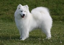 10 Dog Breeds Most Compatible with Samoyed