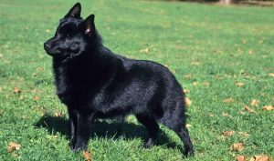 10 Dog Breeds Most Compatible With Schipperkes