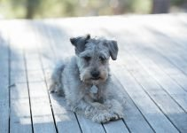 10 Dog Breeds Most Compatible with Schnoodles
