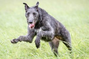 10 Dog Breeds Most Compatible With Scottish Deerhounds