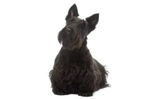 10 Dog Breeds Most Compatible With Scottish Terriers