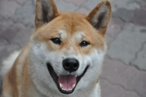 10 Dog Breeds Most Compatible With Shiba Inu