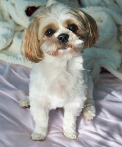 10 Dog Breeds Most Compatible With Shih Tzu