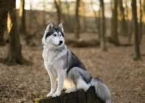 10 Dog Breeds Most Compatible with Siberian Huskies