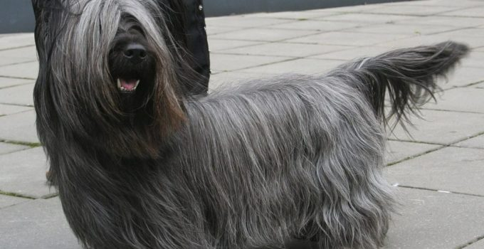 10 Dog Breeds Most Compatible With Skye Terriers