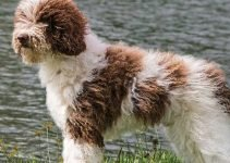 10 Dog Breeds Most Compatible with Spanish Water Dogs