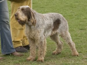 10 Dog Breeds Most Compatible With Spinone Italiano