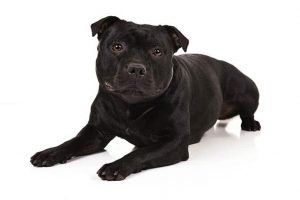 10 Dog Breeds Most Compatible With Staffordshire Bull Terriers