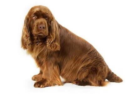 10 Dog Breeds Most Compatible With Sussex Spaniels