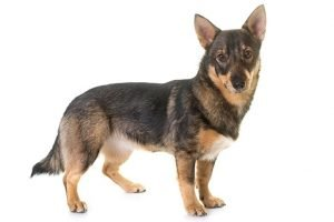 10 Dog Breeds Most Compatible With Swedish Vallhund