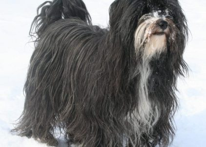 10 Dog Breeds Most Compatible With Tibetan Terriers