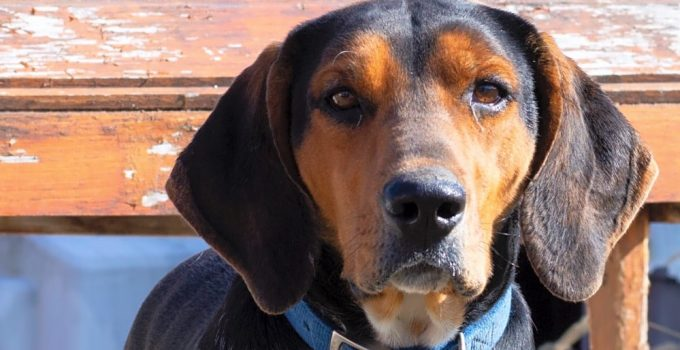 10 Dog Breeds Most Compatible With Treeing Walker Coonhounds