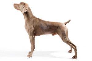 10 Dog Breeds Most Compatible With Weimaraner