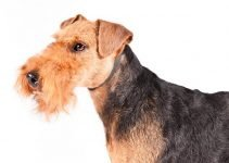 10 Dog Breeds Most Compatible with Welsh Terriers