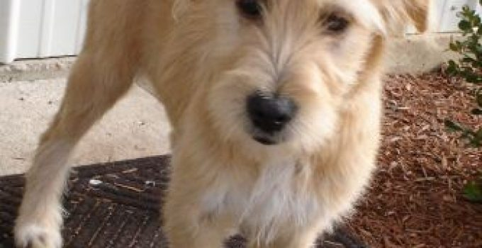 Irish Russian Spanterrier Dog Breed Information All You Need To Know
