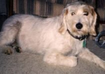 Istrian Coarse-Haired Hound Dog Breed Information – All You Need To Know