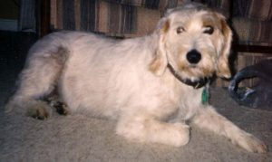 Istrian Coarse Haired Hound Dog Breed Information All You Need To Know