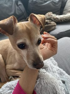 Italian Greyhuahua Dog Breed Information – All You Need To Know