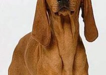 Italian Hound Breed Information – All You Need To Know