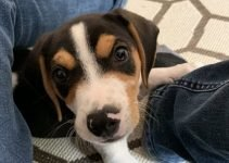 Jack-A-Bee Dog Breed Information – All You Need to Know