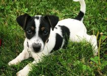 Jack Russell Terrier Dog Breed Information – All You Need To Know