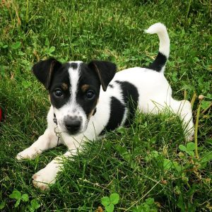 Jack Russell Terrier Dog Breed Information All You Need To Know