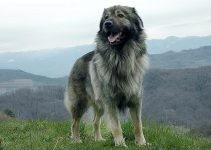 Karst Shepherd Dog Breed Information – All You Need To Know