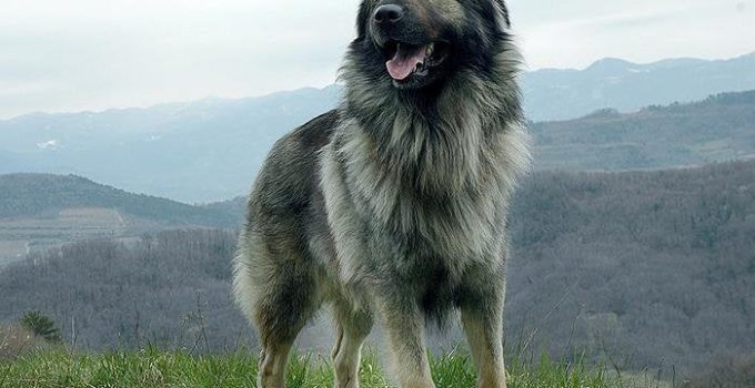 Karst Shepherd Dog Breed Information All You Need To Know