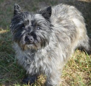 Kashon Dog Breed Information All You Need To Know