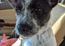 Kerry Blue Schnauzer Dog Breed Information – All You Need To Know