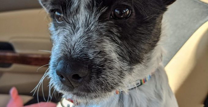Kerry Blue Schnauzer Dog Breed Information All You Need To Know